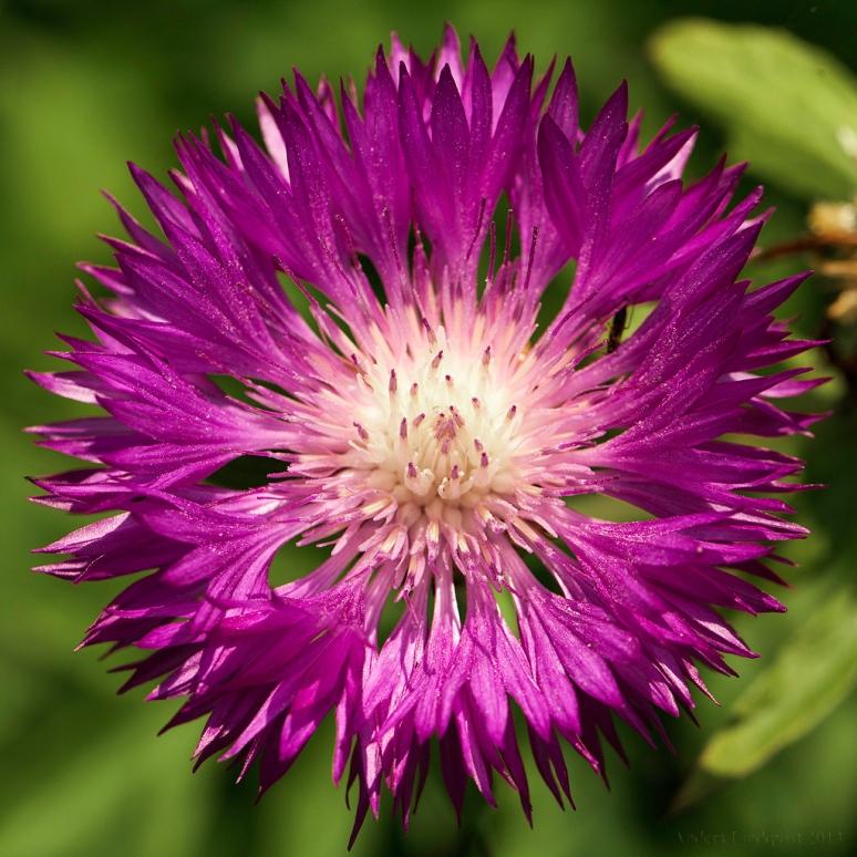 _MG_8026-Centaurea dealbata