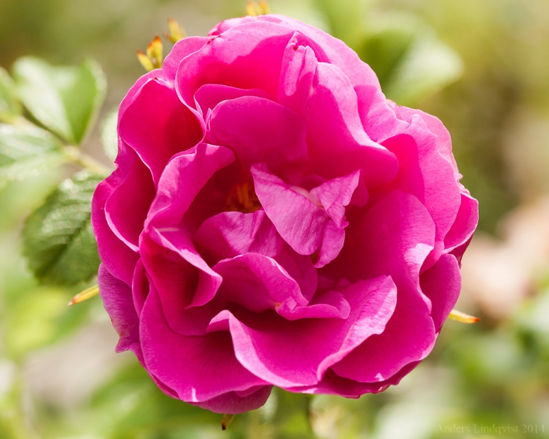 _MG_0633 Vivid rose