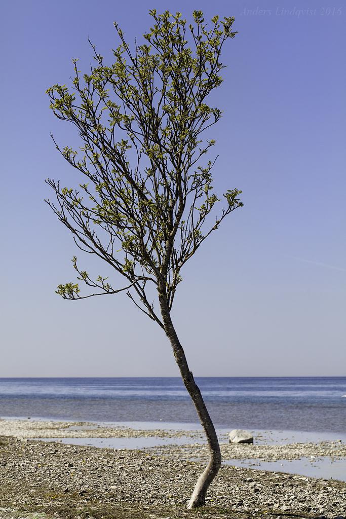 _MG_3685 Trädet 2